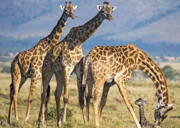 长颈鹿妈妈由两只同伴守护下顺利诞下宝宝