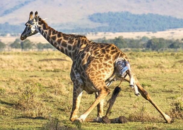 长颈鹿妈妈需跪下让宝宝安全诞下