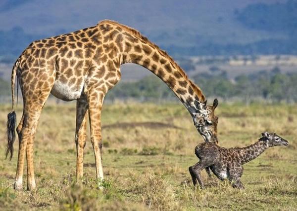 长颈鹿妈妈为宝宝清洁身体