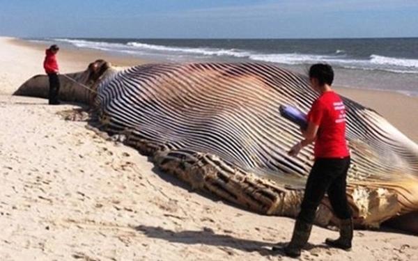 长须鲸尸体巨大无比