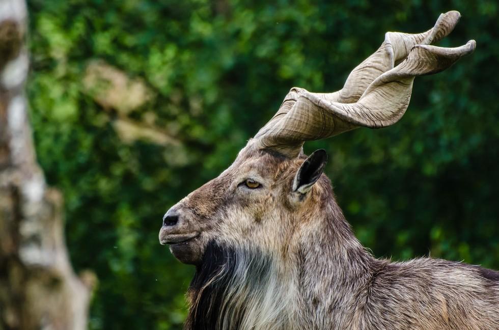 巴基斯坦造型独特的捻角山羊