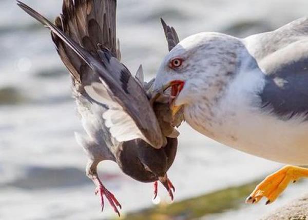 """""""杀手海鸥""""锁定目标后,先一口咬住白鸽的颈部,令对方无法脱身。"""