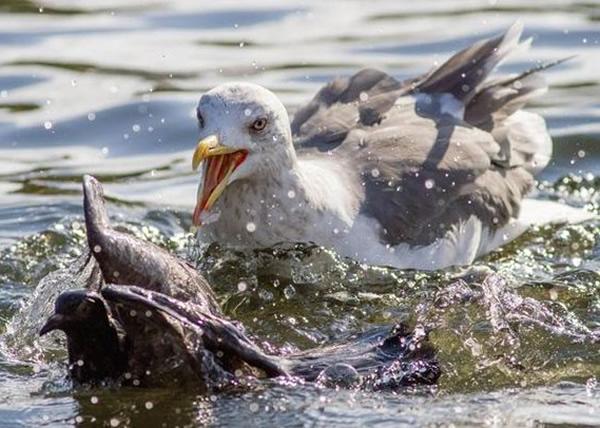 随后海鸥会把白鸽拖到湖内,令对方溺毙后才啄食。