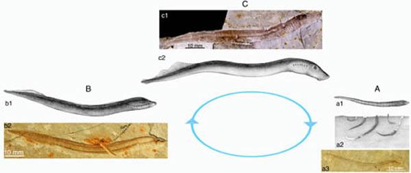 孟氏中生鳗生命周期示意图A. 幼体期(larval stage); B.变态期(metamorphosis stage);C.成体期(adult stage)。
