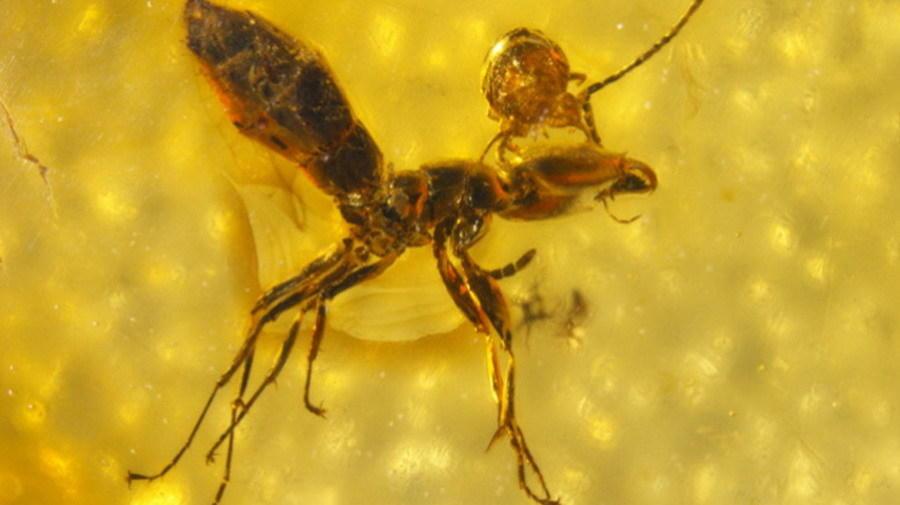 蚂蚁头上的寄生虫