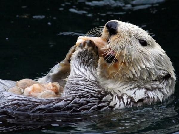 蛋白质膜让海獭牙齿不易破碎。图片来源:KIRSTEN WAHLQUIST/SHUTTERSTOCK