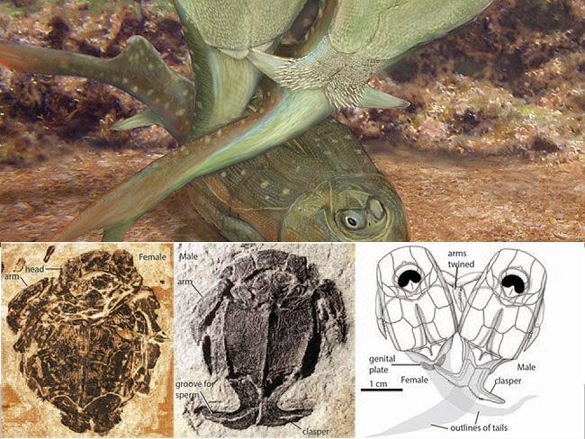 澳洲科学家发现第一只性交的动物──3.85年前盾皮鱼纲的小肢鱼