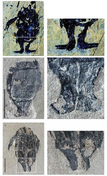 小肢鱼化石照片。由上而下第一排:雄性小肢鱼化石及外生殖器;第二排:雄性小肢鱼化石及未完全发育的外生殖器;第三排;雌性小肢鱼化石及成对骨板。