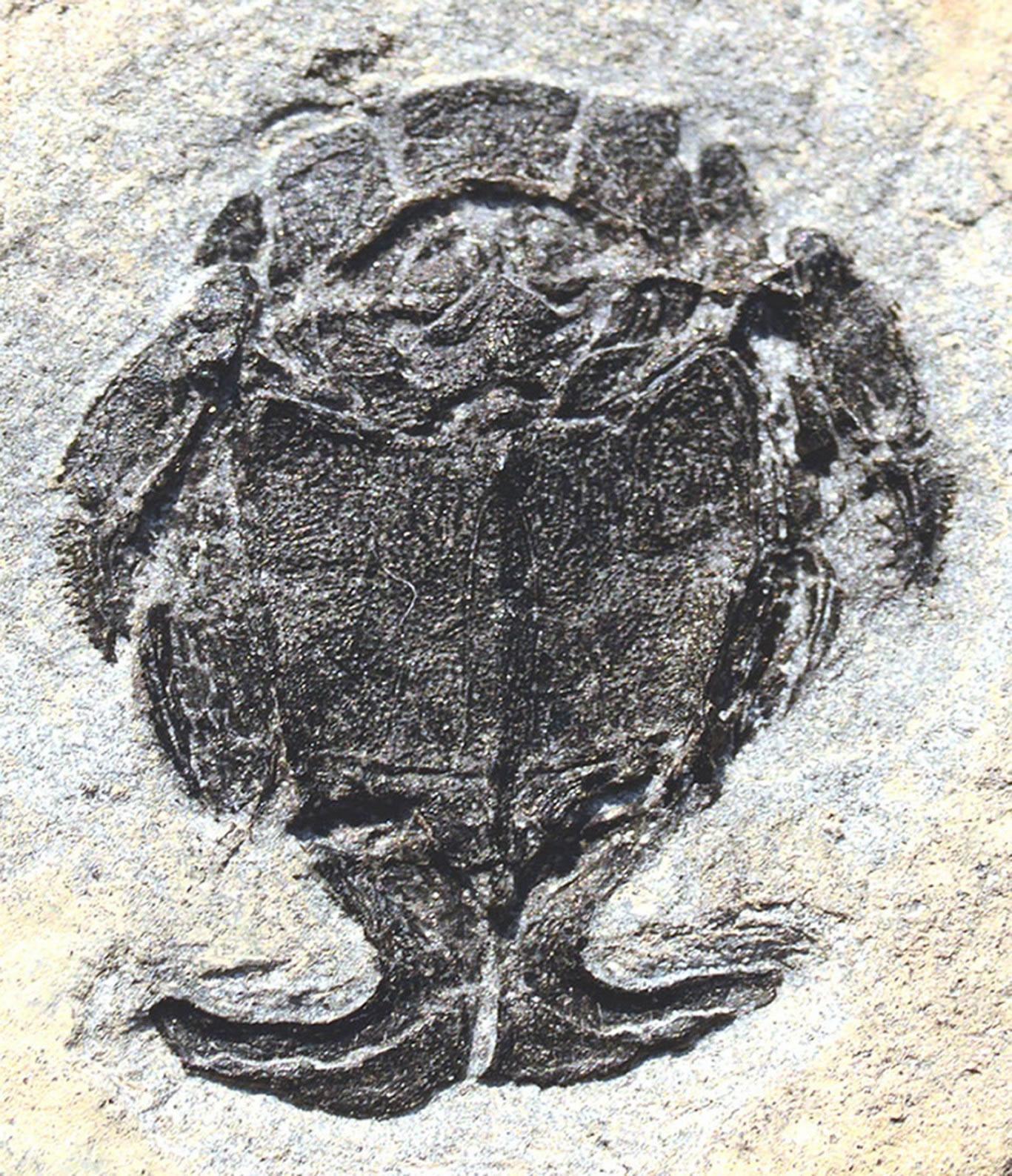 小肢鱼交配化石