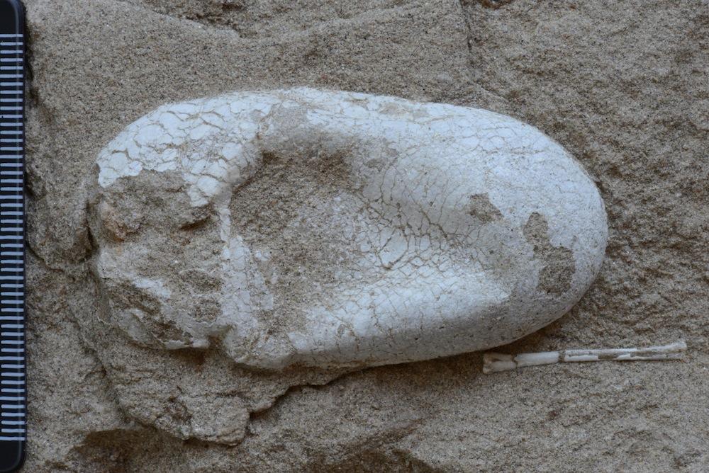 第一枚三维立体保存的翼龙蛋(汪筱林 供图)