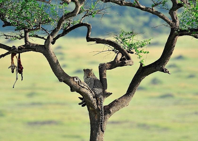 肯尼亚一只雄豹爬在树上,树枝上吊着它捕获的猎物。