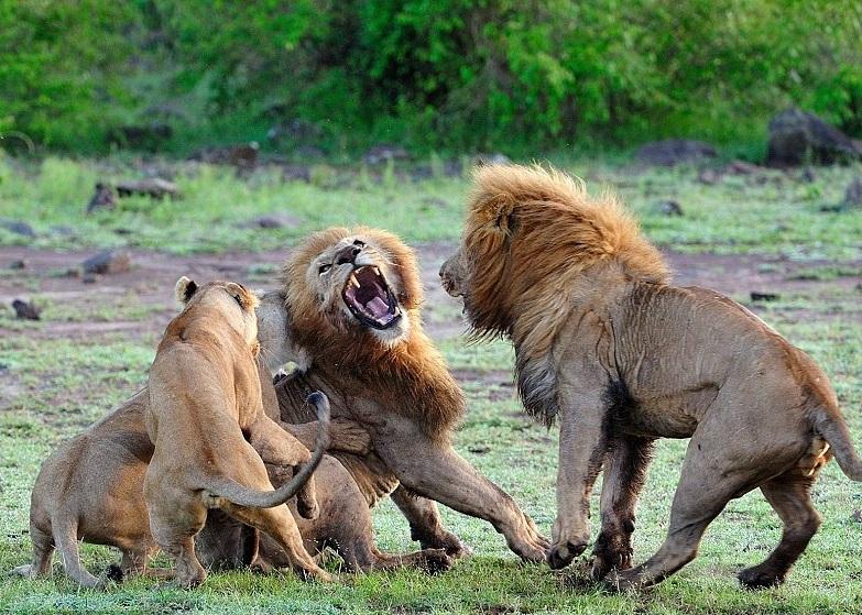 雌狮(左)正在攻击雄狮。
