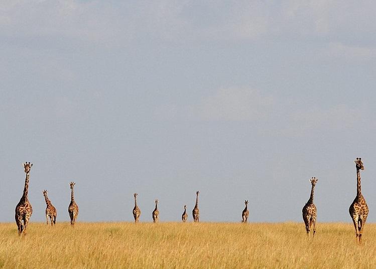 一排长颈鹿正向前走。
