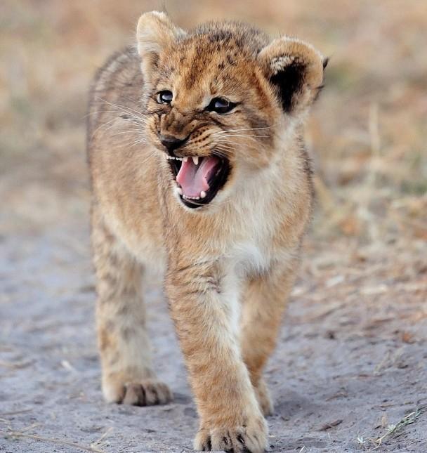 小小的幼狮张大口。