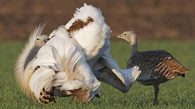 一些雄鸟为了吸引雌鸟也会故意以身试毒(FRANZ KOVACS)