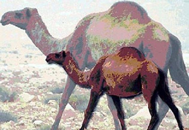 叙利亚远古骆驼