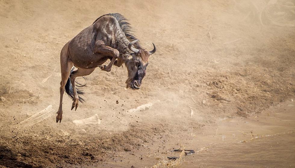 在一年一度的穿越马拉河大迁徙中,这只角马从岸边起跳,欲飞渡马拉河。