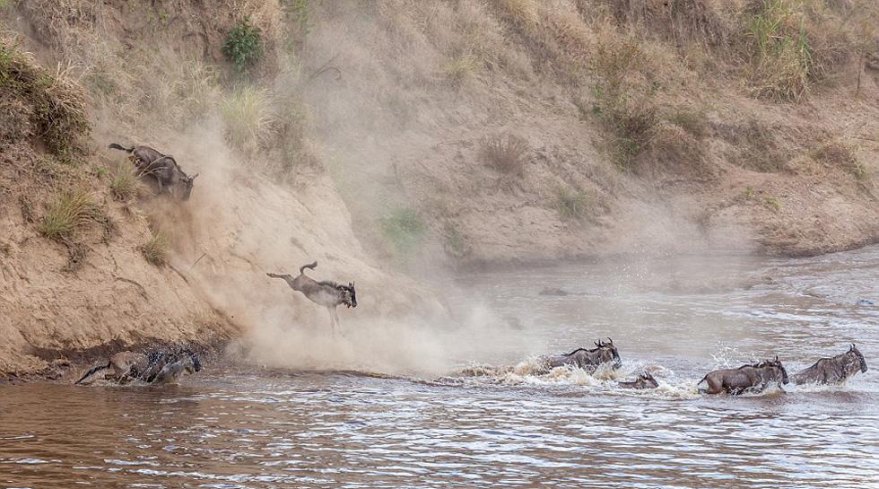小角马从泥泞的河岸边飞奔下来,加入角马群渡河大军。