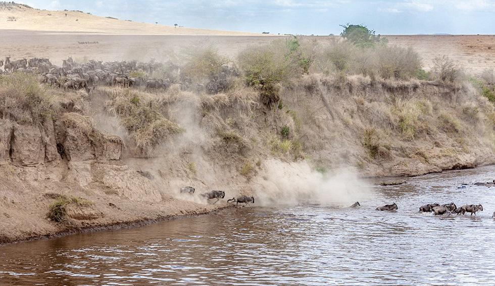 近2万只角马群渡马拉河。
