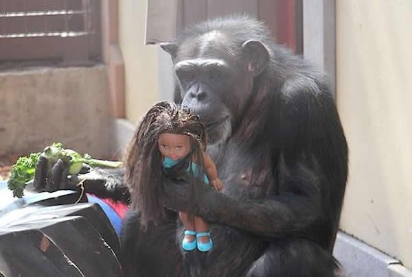 科學家最新研究顯示黑猩猩具有社交天性