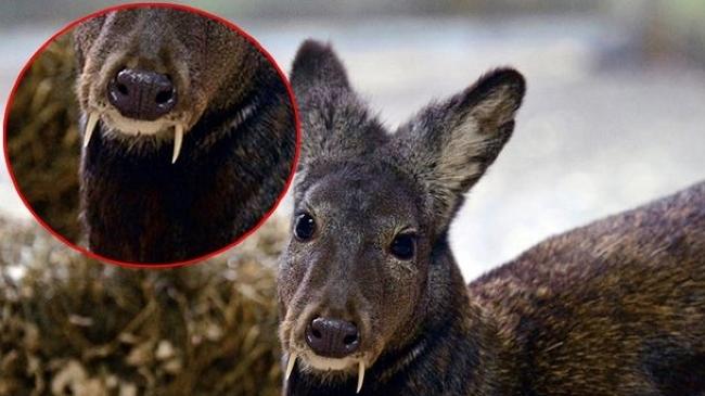 科学家在阿富汗东北部发现消失60年长有尖牙的马麝