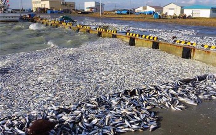 日本北海道鹉川町的海面漂来大量死沙丁鱼