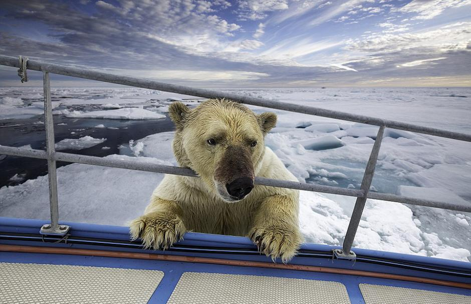 挪威斯瓦尔巴特群岛北极熊将海象分食还要登船  北极熊分食海象的尸体