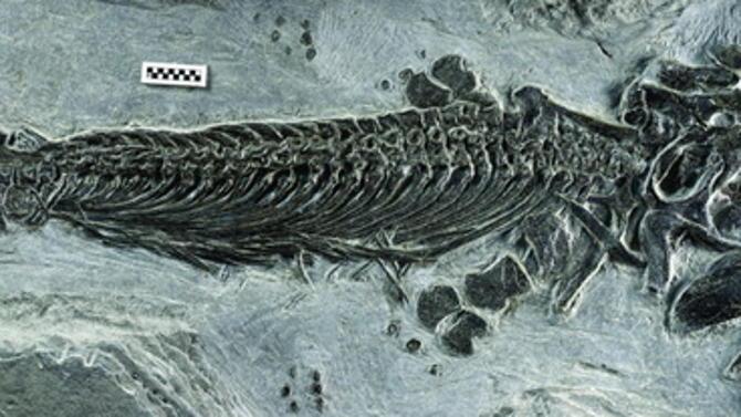 在中国安徽发现首个两栖鱼龙化石 生活在2.48亿年前的三叠纪时期