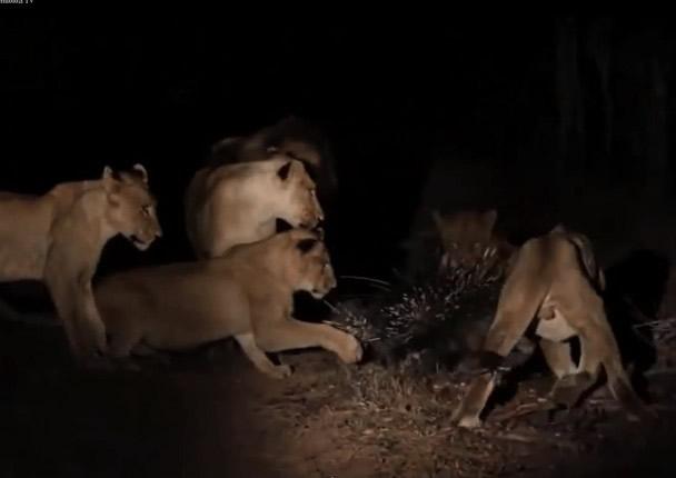 虽然有狮子对箭猪(中)有所动作,但仍动不了它分毫。
