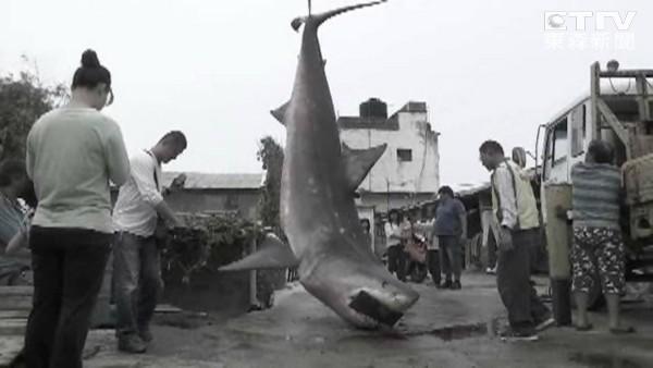 台湾苗栗县后龙镇大白鲨搁浅死亡
