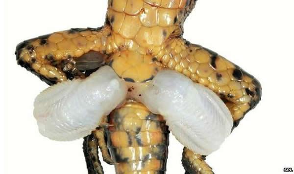蜥蜴拥有双阴茎,最新的研究显示其起源可能与四肢的产生有关。