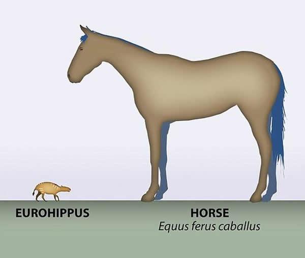 照片展示了一匹现代马和生活在4700万年前的Eurohippus messelensism的对比。