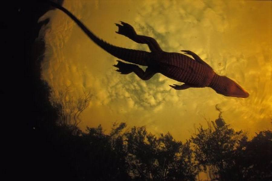 仅出生几天的一条尼罗鳄首次潜入水中,它在卢安果国家公园的溪流中游动。