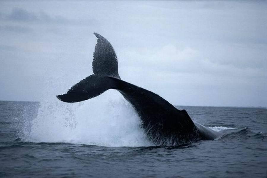 一条驼背鲸在加蓬海域的水面上跃起。
