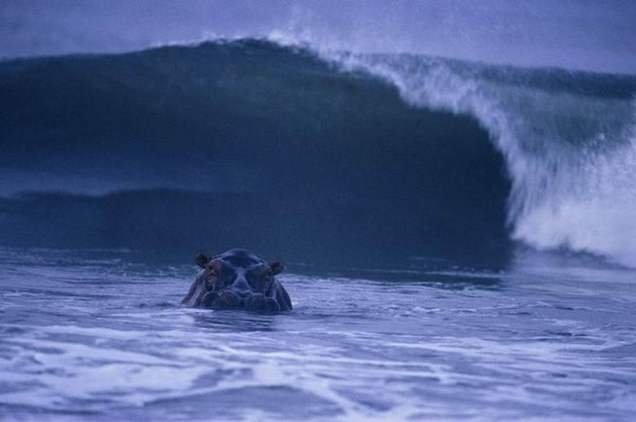 如图所示,这是一只在大西洋海域冲浪的河马。