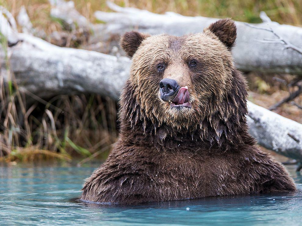 阿拉斯加的克拉克湖国家公园棕熊