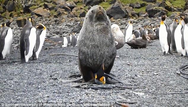 印度洋偏远马里恩岛:南极海狗对国王企鹅进行性侵犯