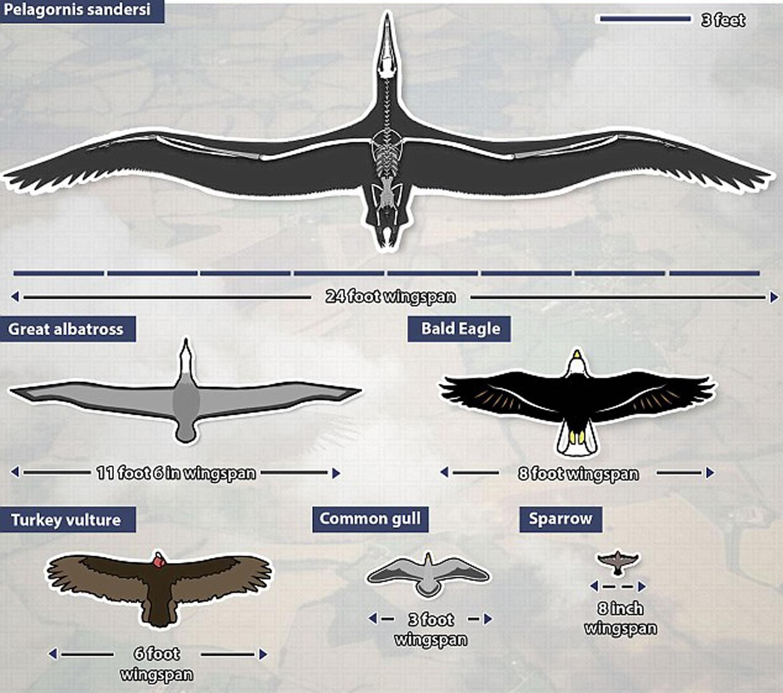 桑氏伪齿鸟(Pelagornis sandersi)和其它鸟类体型对比