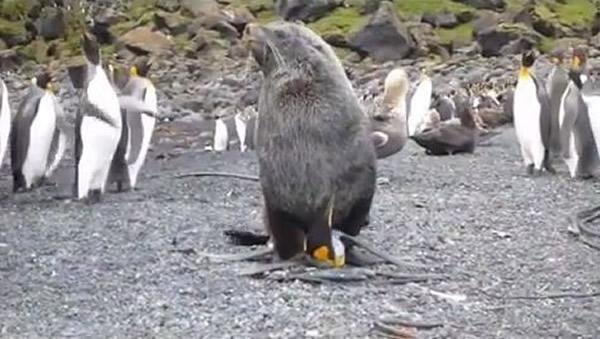 海狗性侵企鹅,还有不少企鹅围观。