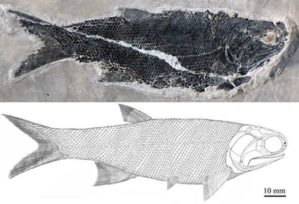 尼尔森翼鳕(Pteronisculus nielseni)正型标本(IVPP V20000)和复原图(徐光辉供图)