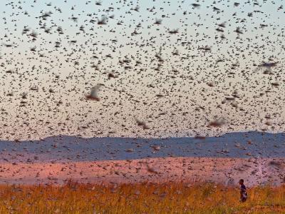 马达加斯加大批蝗虫遮天蔽日过境