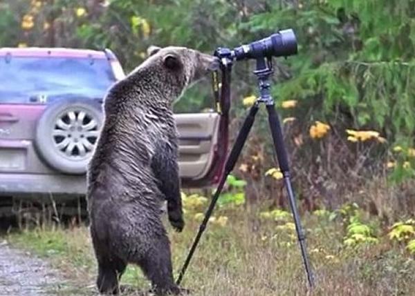 灰熊好奇的在镜头后查看。