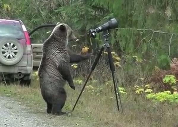 灰熊认真研究架好的相机,看起来架势十足。