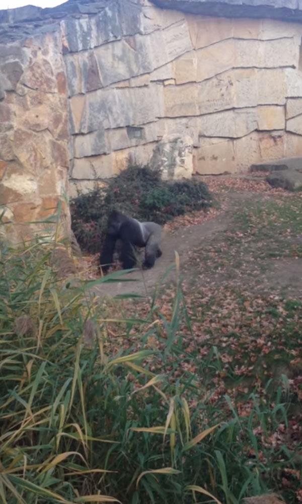 德国柏林动物园大猩猩对围栏外丢石头吓坏参观民众
