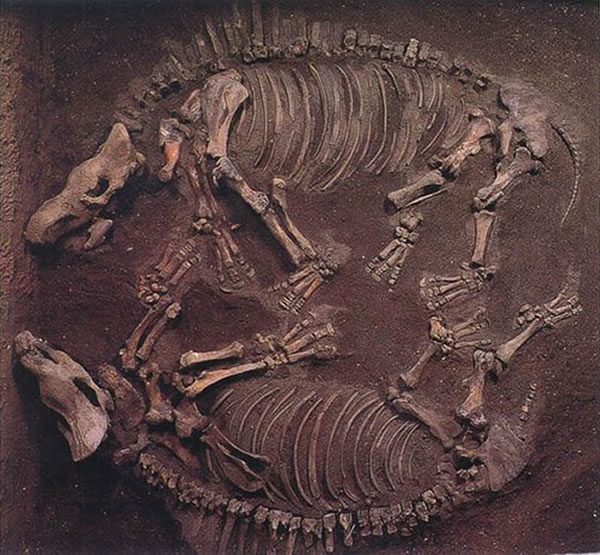 同一化石坑埋藏的两具披毛犀全身骨骼化石