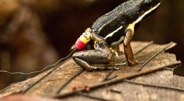 霓股箭毒蛙Allobates femoralis