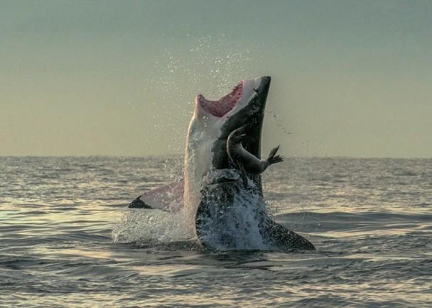 海豹成功逃离大白鲨的血盆大口。