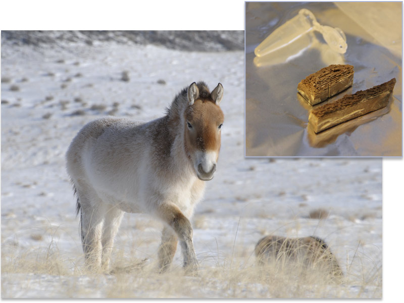 马科动物的进化史与物种形成的某些理论相矛盾