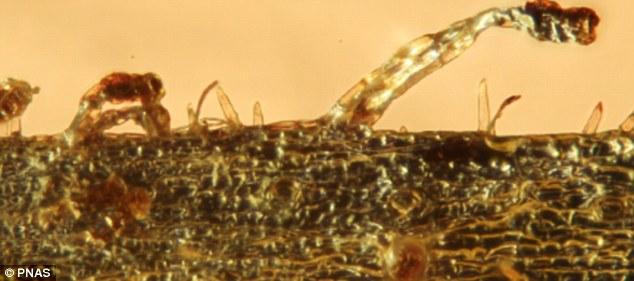 3500万年到4700万年前的波罗的海琥珀中发现肉食植物