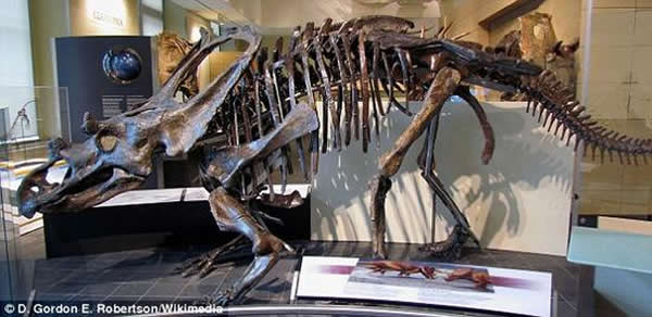 加拿大自然博物馆,一副此前被认为是罗氏开角龙的恐龙化石。朗里奇就职于巴斯大学生物与生物化学系。他表示自己的发现说明这一地区的恐龙种群多样性远超过此前的预计。